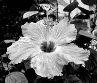 Hibiscus In Black and White