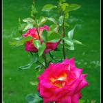 """Rosa"" by JuanjoL"