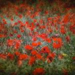 """Poppy field"" by surinamensis"