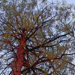 """Pine with Red Trunk Detail"" by SherylKaras"