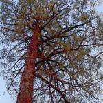 """Pine with Red Trunk"" by SherylKaras"