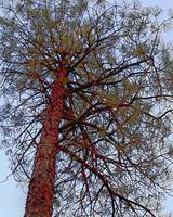 Pine with Red Trunk