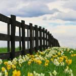 """""""Fence Flowers"""" by stevewalterphoto"""