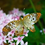 """8-12-06 Butterflys 145"" by kcmodb"