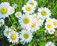 Daisies in Your Face