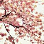 """Think Pink: Japanese Cherry Blossoms"" by anniebanannie"