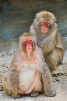 Japanese macaques 1