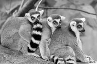 Ring-tailed lemurs 2