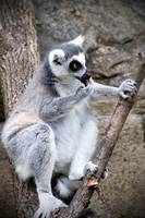Ring-tailed lemur 5