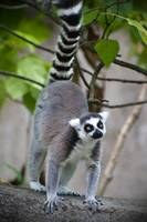 Ring-tailed lemur 3