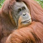"""Sumatran Orangutan 1"" by nicolevaughan"