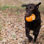 """Lab running with pumpkin"" by nicolevaughan"