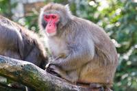 Japanese macaque 3