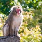 """Japanese macaque 1"" by nicolevaughan"