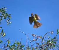 Great crested flycatcher flight 1
