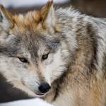 """Mexican wolf 1"" by nicolevaughan"