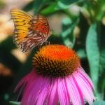 """fritillary butterfly purple coneflower"" by Redglasses"
