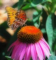 fritillary butterfly purple coneflower