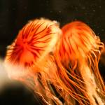 """Orange Jellyfish"" by johncorney"