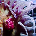 """Inner Workings of a Sea Anemone"" by johncorney"