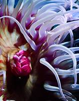 Inner Workings of a Sea Anemone