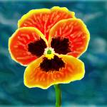 """""""pansy1"""" by jwilliamd"""