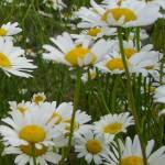 """Tall Daisies"" by JasonThomasSalisbury"