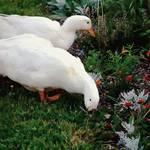 """Ducks in the Garden at the Shipwright"