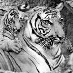 """Malayan tiger with cub 2"" by nicolevaughan"