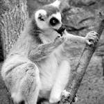"""Ring-tailed lemur 6"" by nicolevaughan"