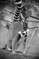 Ring-tailed lemur 4