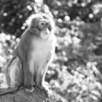 """Japanese macaque 2"" by nicolevaughan"