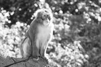 Japanese macaque 2