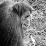 """Sumatran Orangutan 4"" by nicolevaughan"