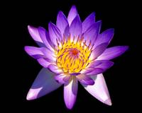 Blooming Purple  Fragrant Water Lily