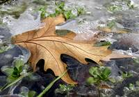 leaf trapped on ice