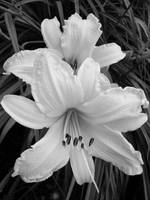 Two Lillies