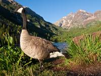 Goose and Maroon Bells