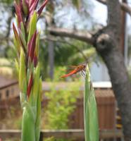 Toasted Orange - Dragonfly