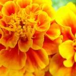 """Marigold"" by bleij50"