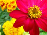 Zinnia on the Patio