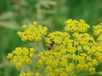 Yellow Weed and Insect