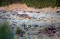 Coyote at Twilight