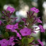 """Purple flowers"" by tedbalmer"