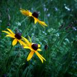 """Black Eyed Susans"" by colgdrew"