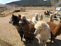 Tina_Alpaca Ranch