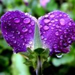 """Purple drops"" by ZOlga"