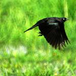 """Brewers Blackbird flying from grass and water"" by houstonryan"