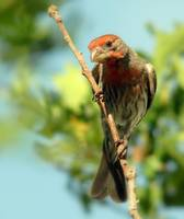 Cassins finch on stick fort canyon