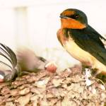 """barn swallow and 5 new babies"" by houstonryan"